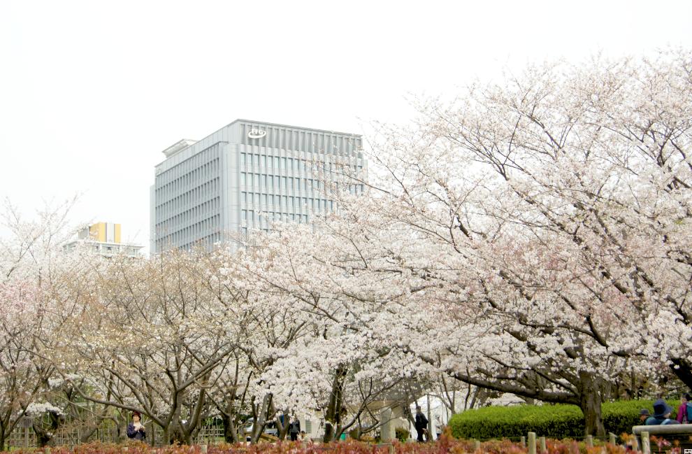 le parc Ohori compte de tres nombreux cerisiers