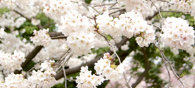 cerisier en fleur 01