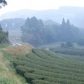 vue de la plantation de thé vert