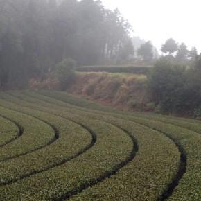 La culture du thé vert