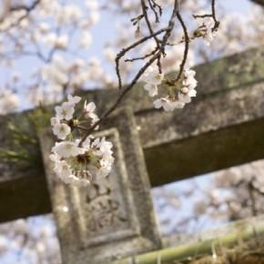 Promenade au pied des cerisiers en fleurs